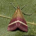 Moth - Pyrausta corinthalis