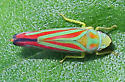 Red-banded Leafhopper - Graphocephala