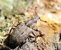 Beetle - Listronotus sparsus