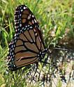 Monarch 1 - Danaus plexippus