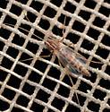 chironomid midge - Chironomus - female