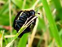 Black and yellow beetle - Necrophila americana