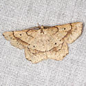 Geometrid Moth - Hodges #6732 - Euchlaena deplanaria - male