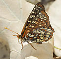 Variable Checkerspot from Indian Knob - Euphydryas chalcedona