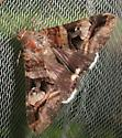 owlet moth  - Melipotis perpendicularis - female
