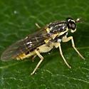 Yellowish Fly - Solva pallipes