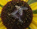 Small Flys - Poecilognathus - male - female