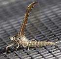 Mayfly?   - Callibaetis skokianus