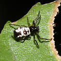 White Micrathena - Micrathena mitrata