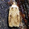 Agonopterix canadensis