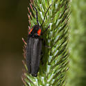 Pyropyga nigricans