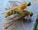 Nose Fly - Ptecticus trivittatus - male - female