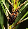 Beetle on Pine - Leptura abdominalis