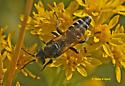 Wasp 718A 4374 & 4375 & 4379 - Tachytes