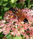 Flying bug on sedum plant - Sphex ichneumoneus