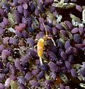 Entomobrya atrocincta male? - Entomobrya atrocincta
