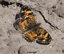 Phaon or Pearl  Crescent - Phyciodes tharos - male