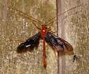 Ichneumon wasp? - Ophion slossonae