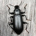 beetle - Alobates morio