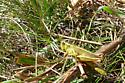 Grasshopper sp. - Melanoplus bivittatus - female