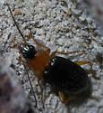 Black and orange beetle - Agonum decorum