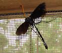 Wasp - Thyreodon atricolor