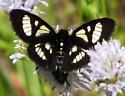MacCulloch's Forester moth - Androloma maccullochii