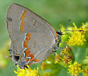 Red-banded Hairstreak (Calycopis cecrops) ? - Calycopis cecrops
