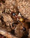 Very small ant - Dorymyrmex flavus - female
