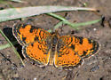 Butterfly - Northern Crescent? - Phyciodes cocyta
