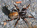 Arachnid - Allocosa