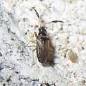 Unk. Hemipteran - Ptochiomera nodosa