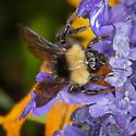 Bombus californicus? - Bombus californicus - female
