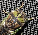 Brown-backed annual cicada - Neotibicen tibicen