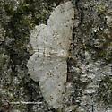 Melanolophia canadaria
