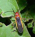 Dysdercus mimulus or mimus  - Dysdercus