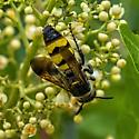 unknown bee (maybe perdita species) - Dielis trifasciata