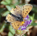 Little Butterfly - Lycaena helloides - male