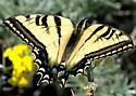 Papilio rutulus - female