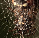 Trashline Spider - Cyclosa turbinata