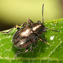 Leaf Beetle - Graphops
