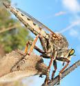Robber fly - Promachus vertebratus - male