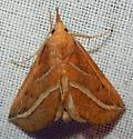Phyprosopus callitrichoides