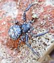 Coriarachne? 2 - Bassaniana utahensis