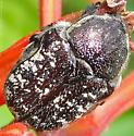 big beetle - Euphoria sepulcralis