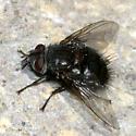 big black Tachinid Fly - Leschenaultia