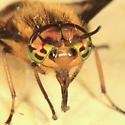 deer fly - Chrysops geminatus - male