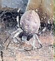 Spider - Neoscona oaxacensis