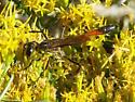 Wasp? - Ammophila