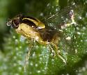 Grass Fly - Thaumatomyia